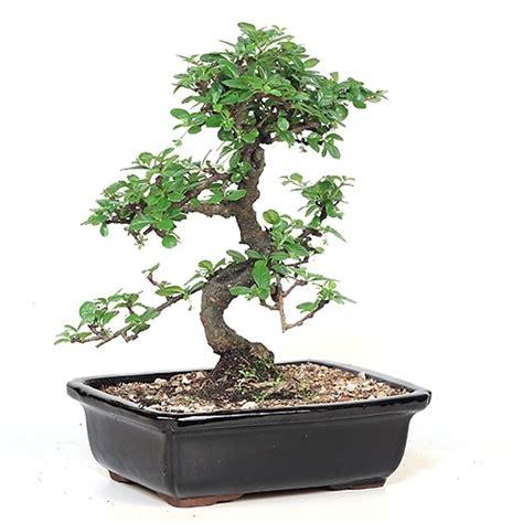 bonsai fujian tea bonsai tree  easternleafcom