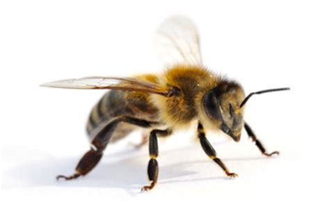 Beschriftung Drohne by Die Arbeitsbiene Die Arbeiterin Im Bienenvolk