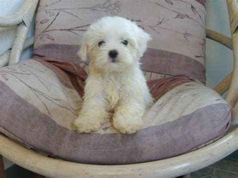 puppies for sale in pittsburgh pa maltese puppies 5 morkie puppies for sale in pittsburgh pa biological science