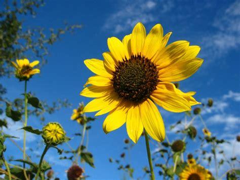 imagenes girasoles hermosos im 225 genes de flores y plantas girasol