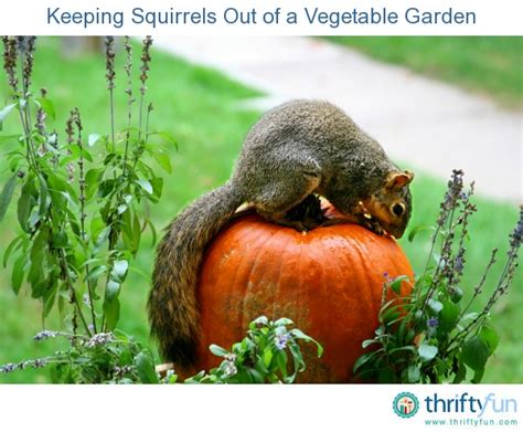Keeping Squirrels Out Of Garden keeping squirrels out of a vegetable garden thriftyfun