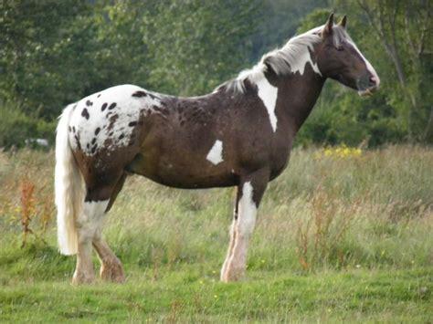 pintaloosa leopard tobiano horses pintaloosa pinto and appaloosa appaloosa