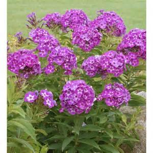 Tall Phlox Flowers - perennial laura tall phlox