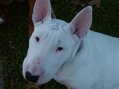 Bull Terrier Shedding by Bull Terrier Breed Information Puppies Pictures