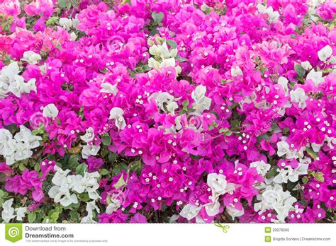 Trellis Plans Free by Bougainvillea Vines Royalty Free Stock Photo Image 29978565