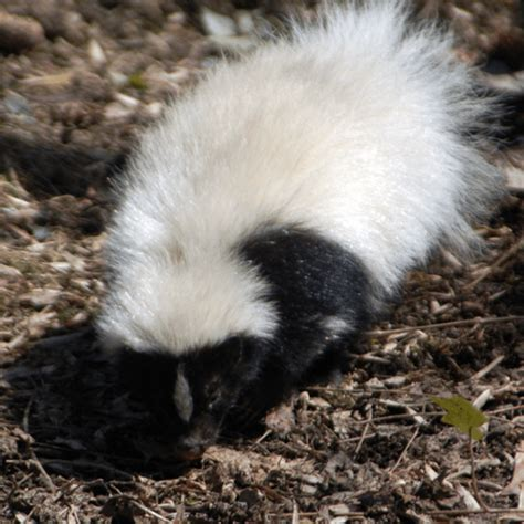 how to get skunk smell out of house and dog how to get rid of skunk smell how to get rid of stuff