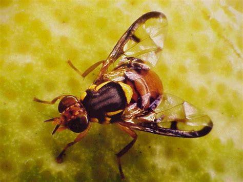 fruit flies in bedroom fruit fly