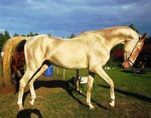 akhal teke colors 68 best images about akhal teke horses on