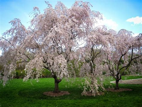 cherry tree pruning how to prune a weeping cherry tree hymns and verses
