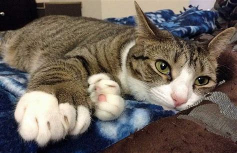 11 things you didn t know about polydactyl cats mnn