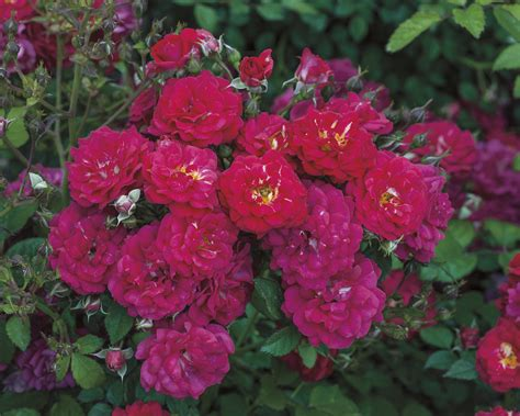 Cd Violet 8222 weeks roses introduces seven new varieties for 2017 press release digital journal