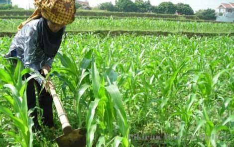 Bibit Jagung Terbaik catatan sang petualang kiat sukses petani jagung