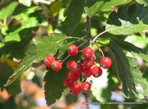 fruit trees ontario hawthorn and high blood pressure