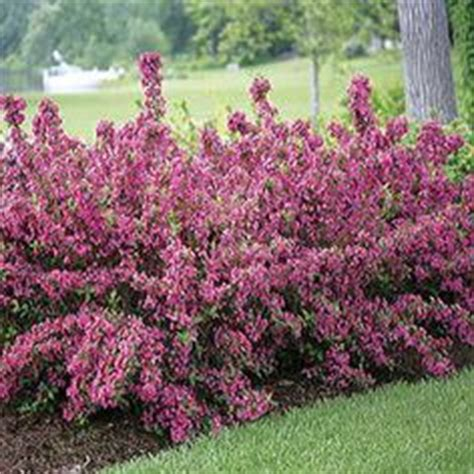 flowering shrubs deer resistant 1000 images about zone 5 deer resistant plants on