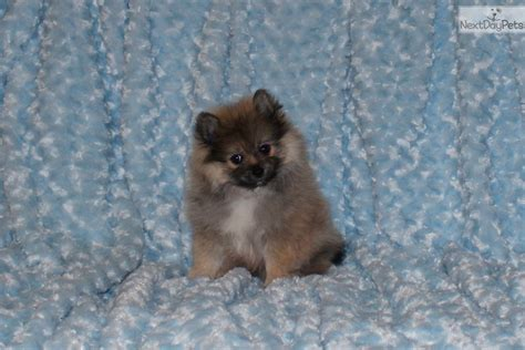 pomeranian puppies for sale in dallas pomeranian puppy for sale near dallas fort worth
