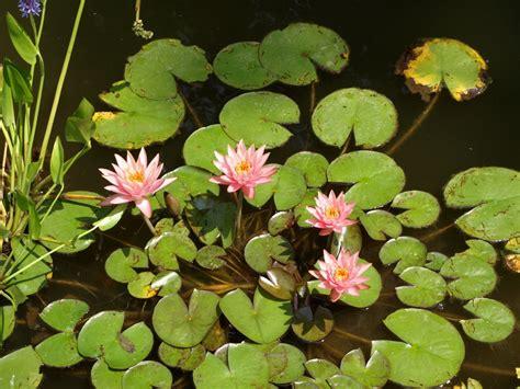 Masker Ponds aquatic plants fixed plants