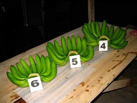 Supplier Capung Waka By Factory fresh green delmonte dole cavendish bananas available