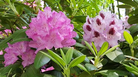 Garten Pflanzen Erkennen by Rhododendron Pflegen Und Krankheiten Erkennen Ndr De