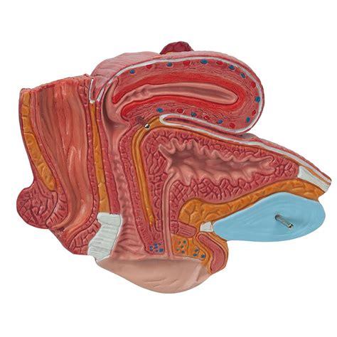 womens pubis for sale anatomical teaching models plastic human pelvic models