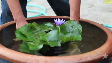 water lily youtube