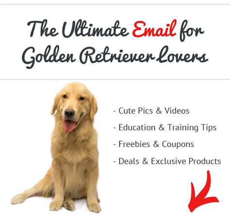 how bad do golden retrievers shed are golden retrievers apartment dogs see what real golden retriever owners say