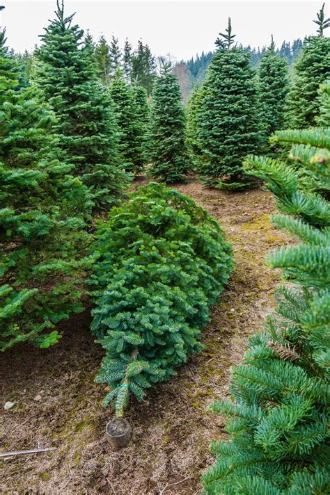 free christmas tree permits for 4th grade students