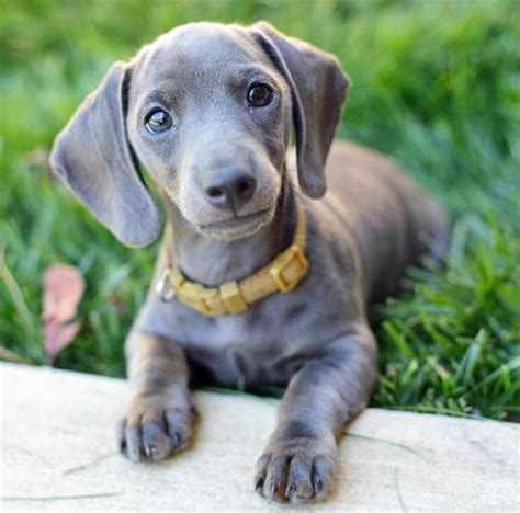 cheap dachshund puppies for sale slinky the dachshund puppies daily puppy