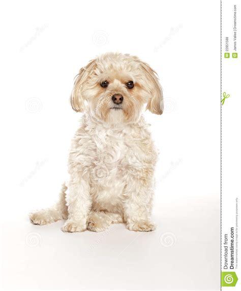 maltese yorkie mix price morkie maltese yorkie mix puppy royalty free stock photos image 22851588