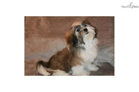 havanese rescue dallas havanese puppy for sale near dallas fort worth 57a6f13e e9b1