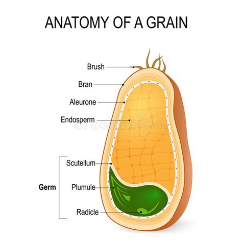 cross section of a seed anatomy of a grain inside the seed stock vector