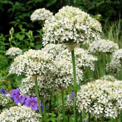 buy ornamental onion bulbs allium nigrum  delivery