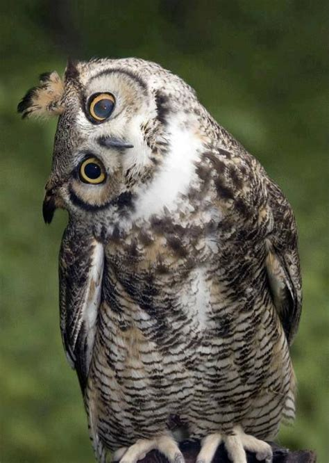 funny wildlife owly molly owl 1 barn owl especially
