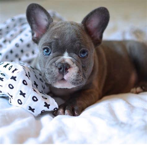 alimentazione bulldog inglese cucciolo 3 utili consigli sull alimentazione bulldog francese