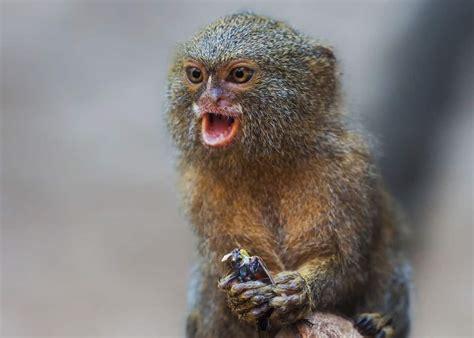 pygmy marmoset facts guide  finger monkeys cebuella