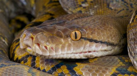 these python hunters described the dangers of wrangling a