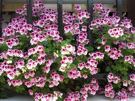 imagenes de jardines con geranios geranio frances cuidar de tus plantas es facilisimo com
