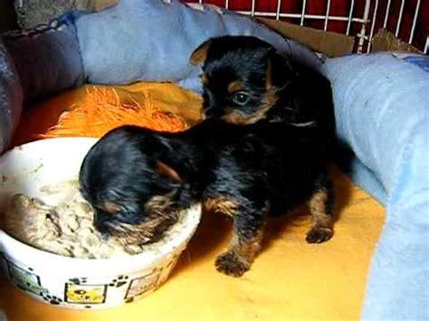 yorkie puppies 3 months yorkie puppies one month