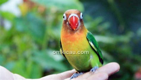 Pakan Lolohan Untuk Anakan Lovebird membuat formula pakan lolohan anakan lovebird ala ir