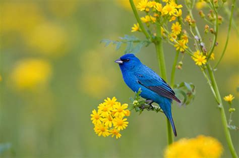 how to attract indigo buntings to your backyard birding basics to indigo buntings birds and blooms