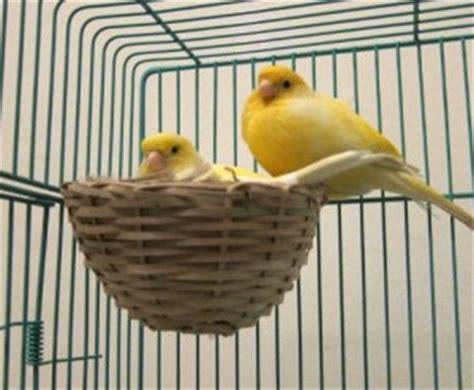 riproduzione canarini in gabbia consigli pratici per la canarino pet magazine
