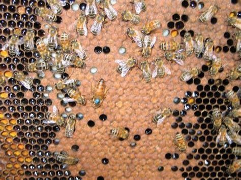 backyard honey bees types of honeybees