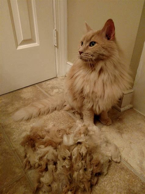 Cat Shedding Much Fur by 15 Pics That Perfectly Sum Up A Pet Bored Panda