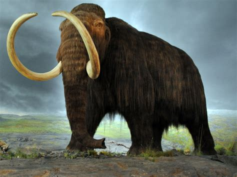 mammoth images woolly mammoth dna successfully spliced into elephant