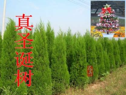 where to buy real and fake christmas trees in beijing