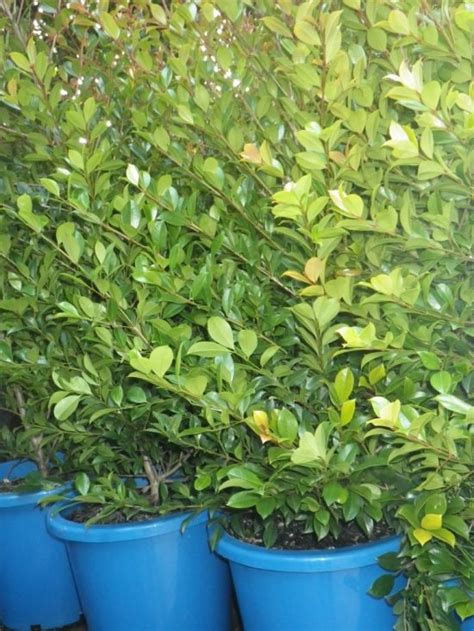 syzygium backyard bliss syzygium backyard bliss landsdale plants