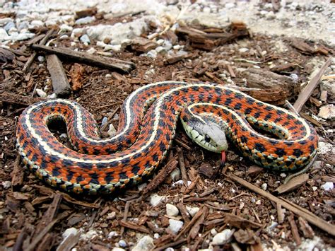Garter Snake Garter Snake Animals Photos