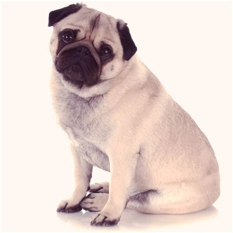 pug puppy information pug information choosing a breed to suit you petcarerx