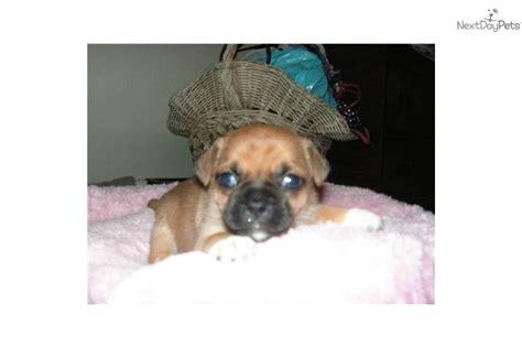 rat terrier pug mix meet buglet a pug puppy for sale for 275 pug rat terrier mix