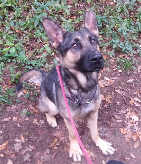 rescue german shepherd puppies rescue vic german shepherd peterborough cambridgeshire pets4homes