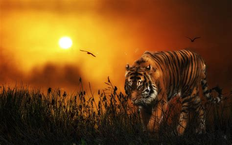 tiger backgrounds tiger wallpaper hd 1080p tiger hd wallpapers hd